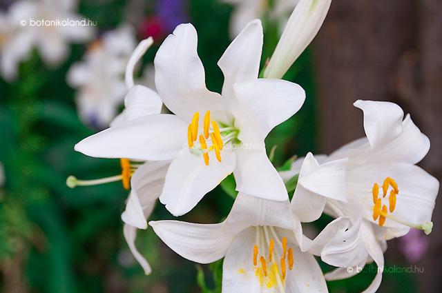 Fehér liliom ízületi kezelés