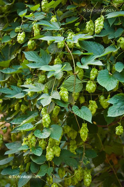 Komló növény
