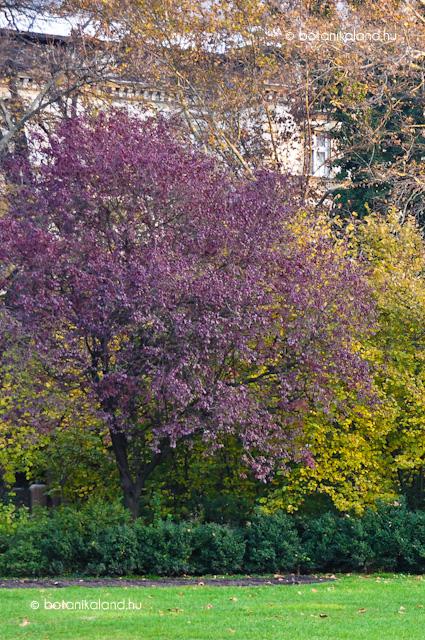 Vérszilva (Prunus...
