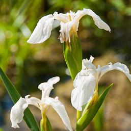 fehér paraziták a virágok)