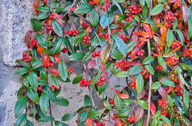 Cotoneaster salicifolius Herbstfeuer