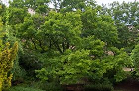 Tölgyfa a kertben