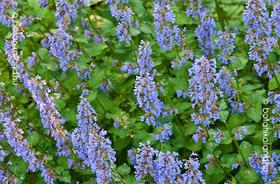 Nepeta grandiflora