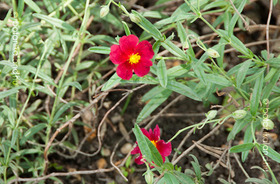 Napvir�g (Helianthemum)