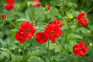 Chilei Gy�mb�rgy�k�r (Geum chiloense)