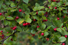 D�sterm�s� Mad�rbirs (Cotoneaster dielsianus)