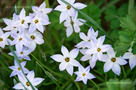 Egyvirágú Csillaghagyma (Ipheion uniflorum)