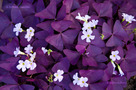 Lila Mad�rs�ska (Oxalis triangularis)