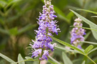 Illatos Bar�tcserje (Vitex agnus-castus)