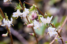 Illatos Lonc (Lonicera fragrantissima)