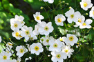 Jap�n Szell�r�zsa (Anemone japonica)
