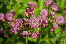 Nagy V�lgycsillag (Astrantia major)