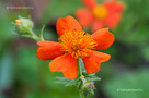 Gy�mb�rgy�k�r (Geum coccineum)