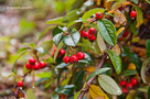 Sz�nyegmad�rbirs (Cotoneaster dammeri)